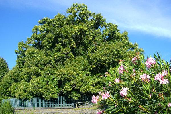 Chestnut Tree of One Hundred Horses