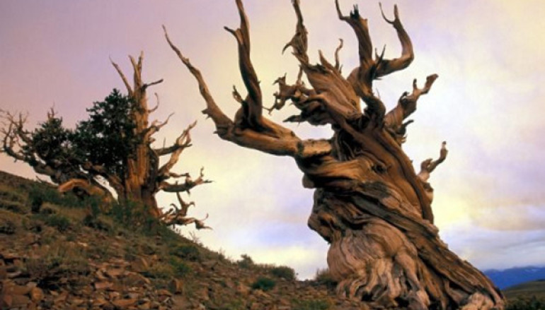 What Is The Oldest Tree In The World?