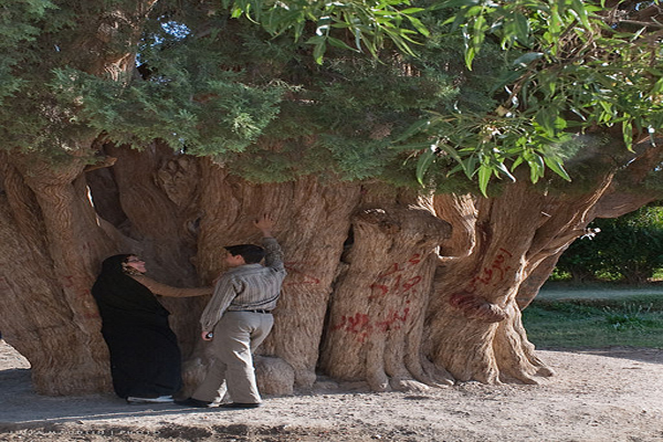 the oldest tree in the world